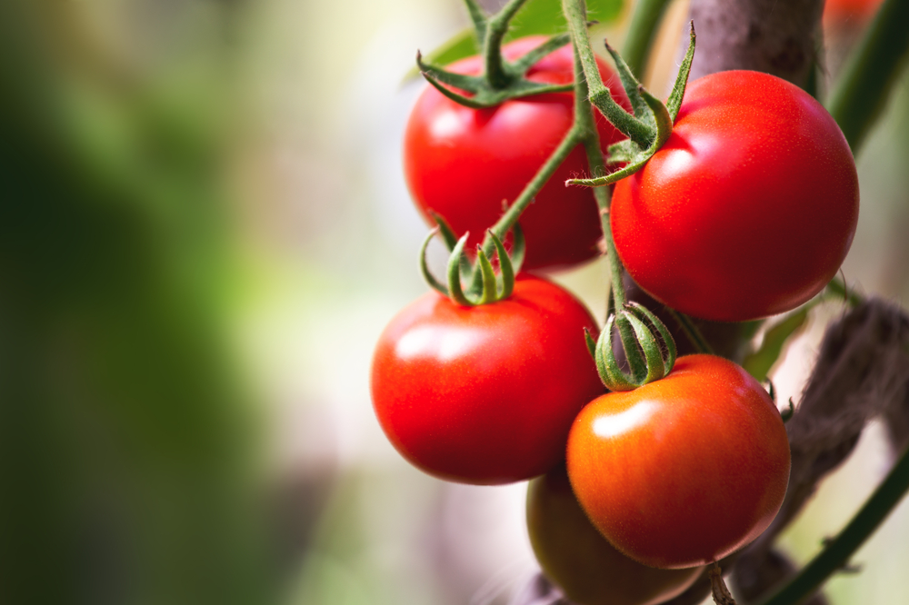 tomatoes and radiation therapy